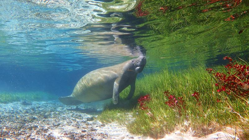 Manatee at Blue Spring