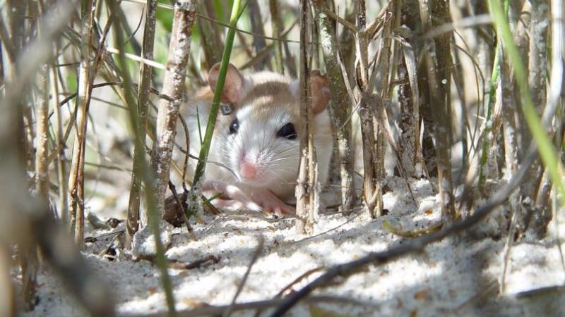 A view of the Anastasia Beach Mouse among the vegetation.
