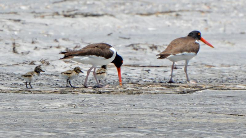American oystercatchers with three chicks foraging on the beach.