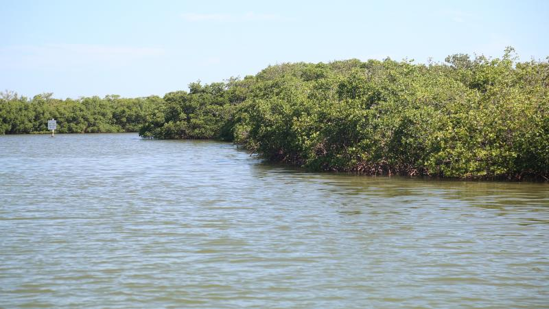 A view of the mangroves along the water's edge.
