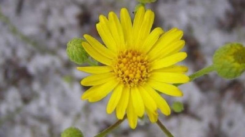 A view of a Florida golden aster.