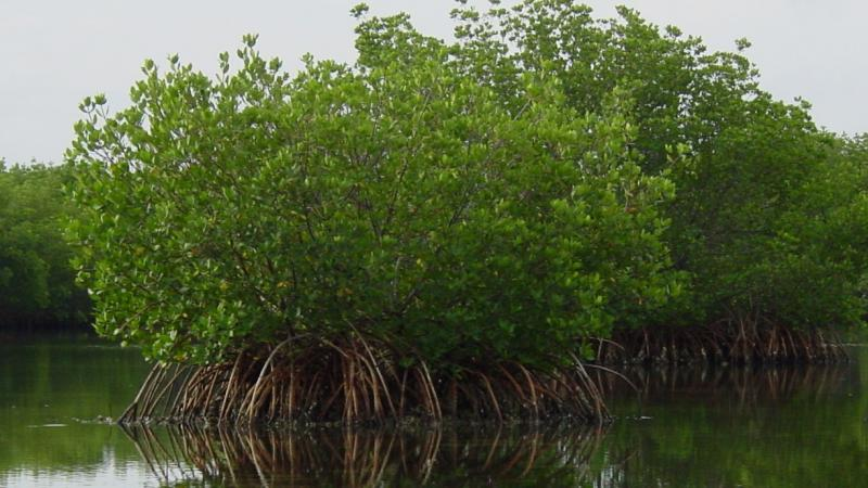 A view of the mangroves in the water.