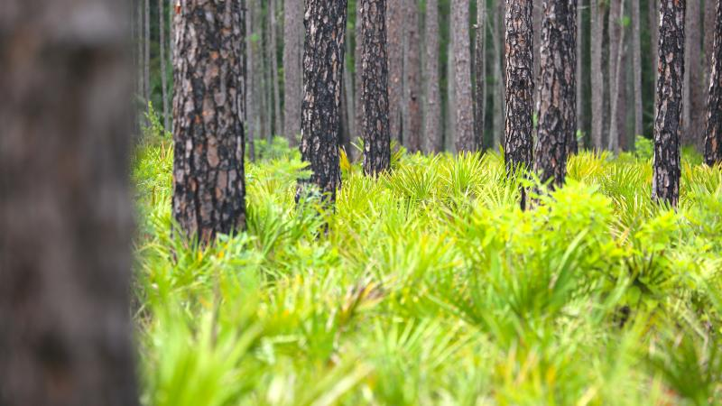 Blanket of saw palmetto on the ground and pine trees