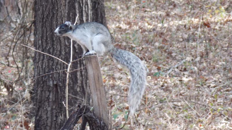 A view of a Sherman's Fox Squirrel perched on a fence post.