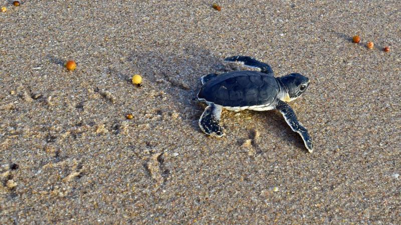 Green sea turtle hatchling heading to sea