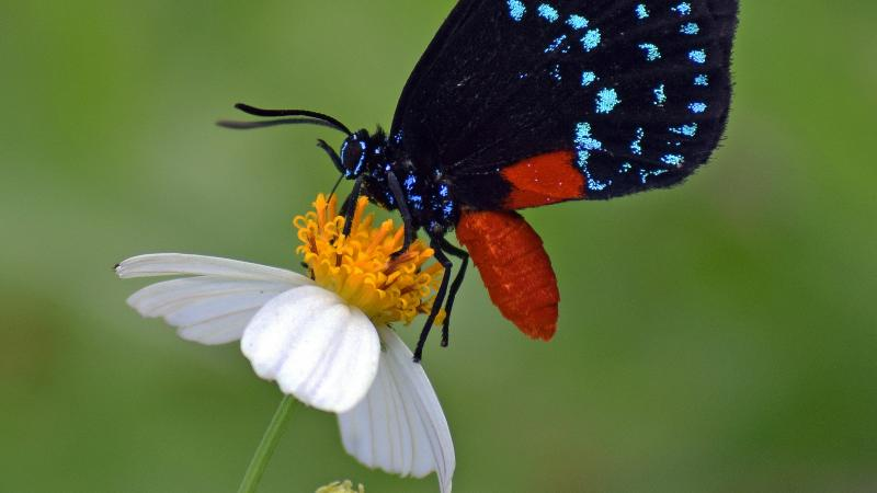 Atala Butterfly on a flower