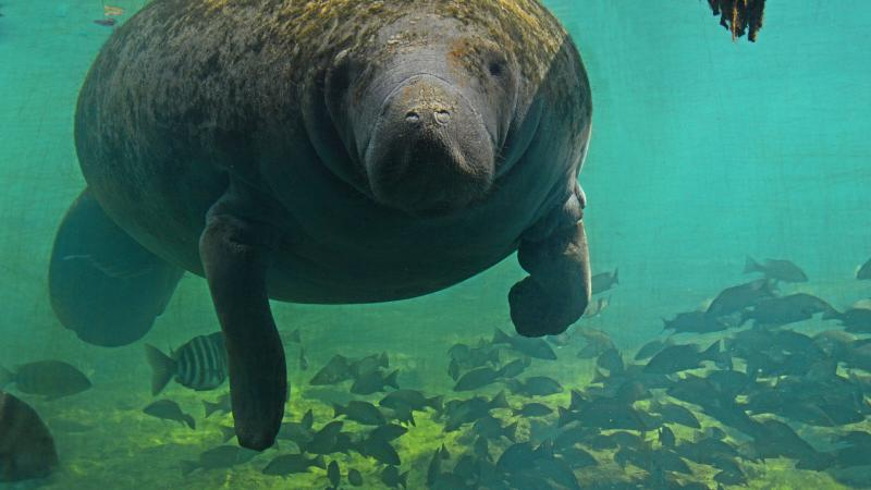 Manatee at Homosassa Springs underwater observatory with numerous fish