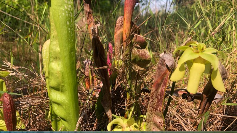 Hooded pitcher plants grow at Paynes Prairie Preserve State Park.