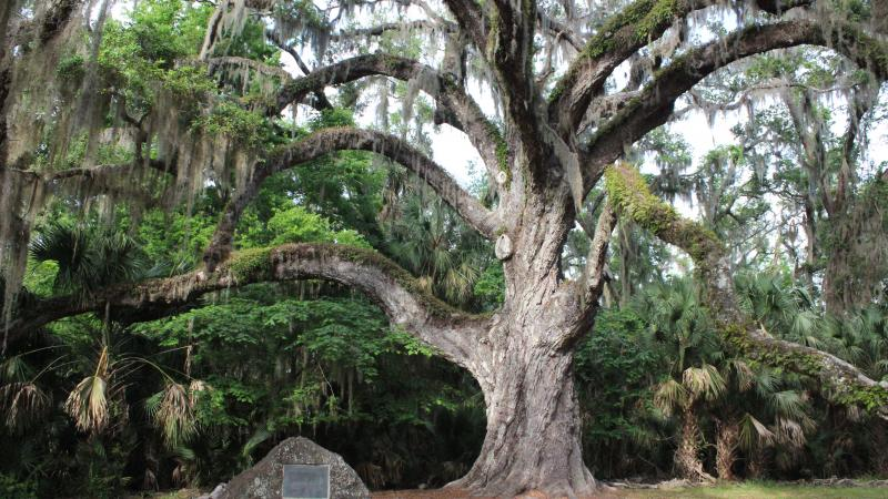 Fairchild Oak at Bulow Creek
