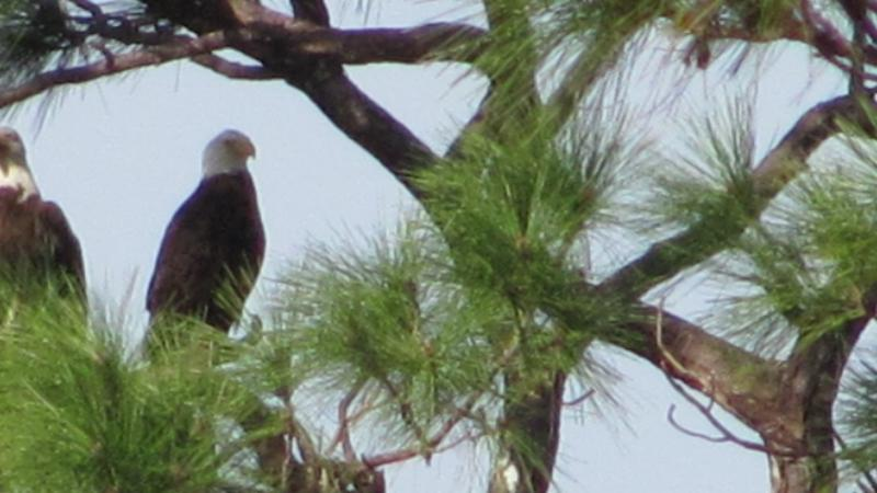 A pair of bald eagles in a tree.