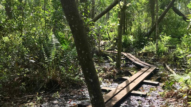 Wooden plank hiking trail through the swamp at Lake Griffin