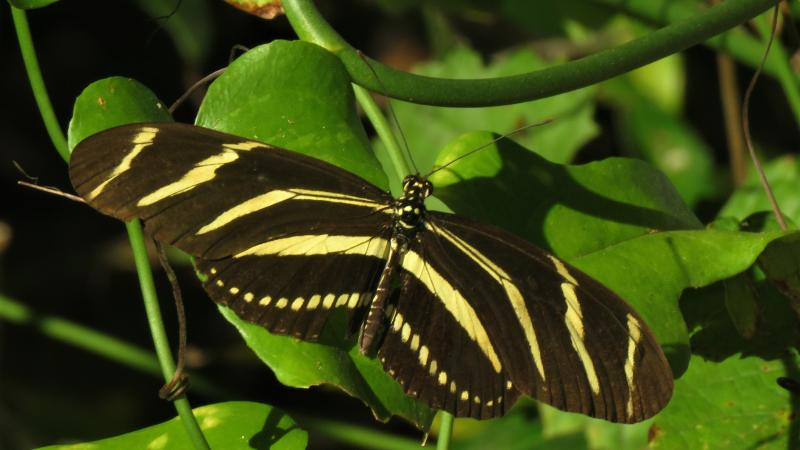 The Zebra heliconian (Heliconius charitonius) is Florida's state butterfly.