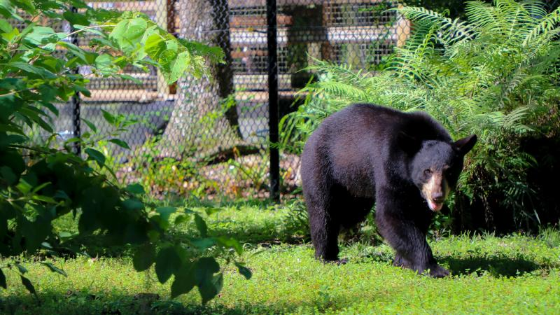 Maximus the Florida black bear walks through his exhibit.