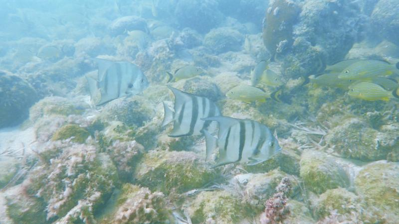 Spadefish at the San Pedro
