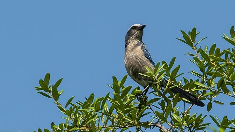 Florida Scrub-Jay on a tree at Blue Spring