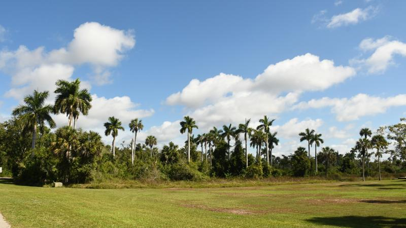 Group of royal palm trees, green grass, blue sky with puffy white clouds on a sunny day.