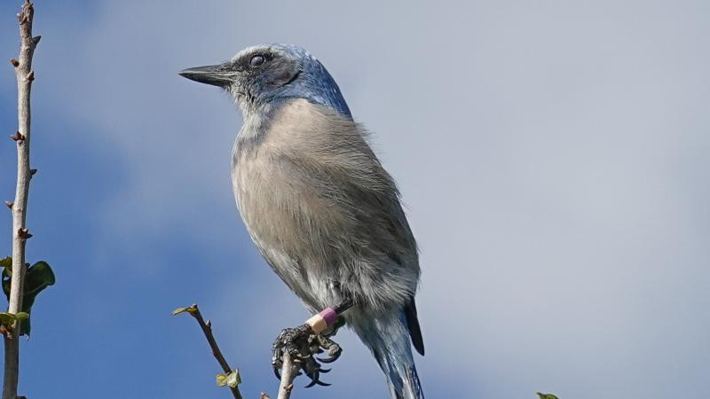 A view of a Florida Scrub Jay.