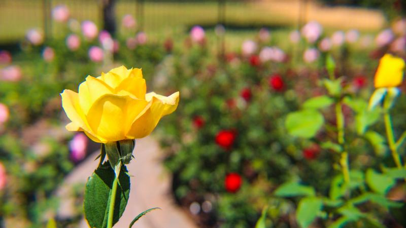 A yellow rose in the foreground of the rose garden with red and pink roses in the background