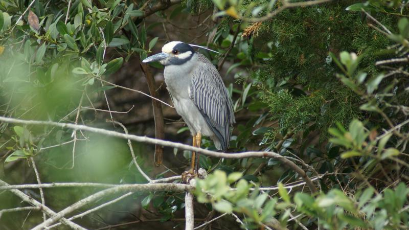 A Yellow-crowned Night Heron perched on a branch at North Peninsula