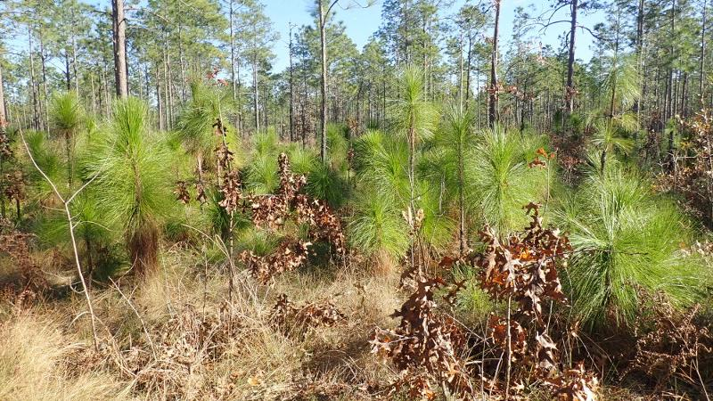 Young longleaf pines are seen alongside the Sandhill Trail at Suwannee River State Park.