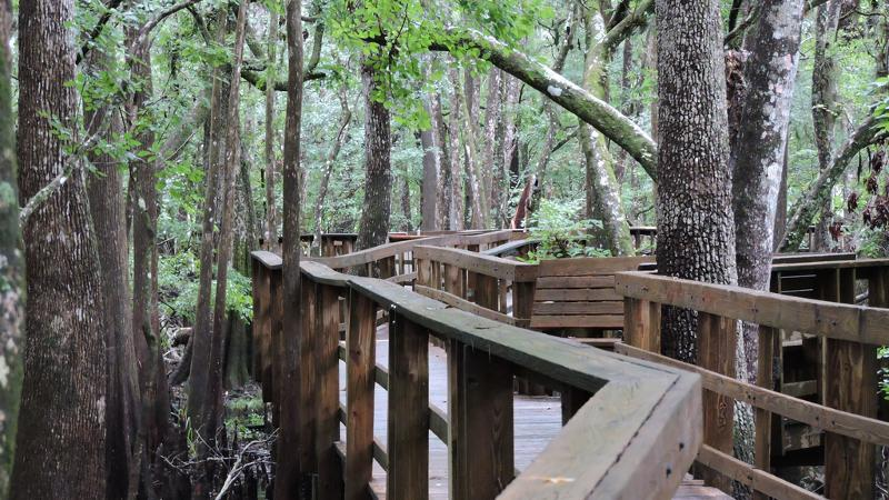 image of the wooden boardwalk winding between cypress trees at manatee springs.
