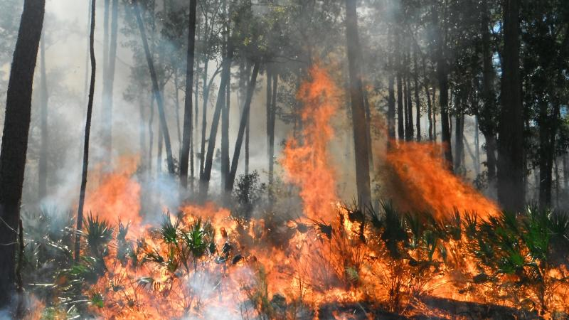 Prescribed fire burning at Faver-Dykes State Park