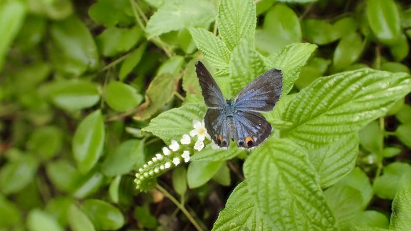 A Miami blue butterfly nectaring on scorpion-tail   at Bahia Honda State Park in the Florida Keys.