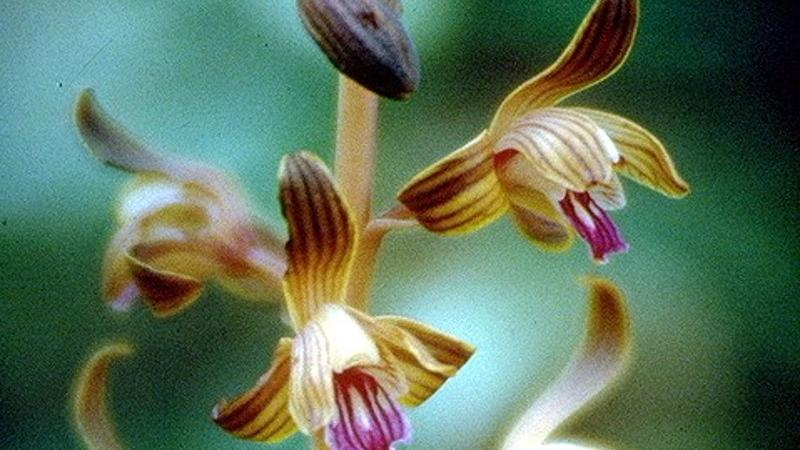 Closeup image of the spiked crested coralroot, a purple and brown orchid-like flower.