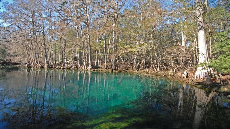 image of bright blue water at manatee springs and the surrounding cypress forest