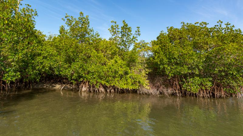 Photo of mangrove trees from the water