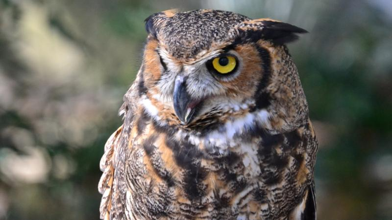 a great horned owl looks to the side