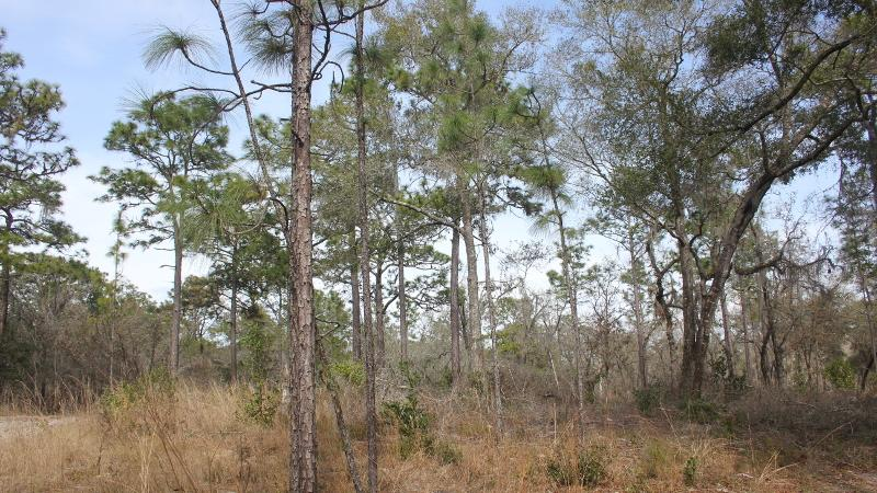 pine trees and wiregrass grow in an open and sunny habitat.