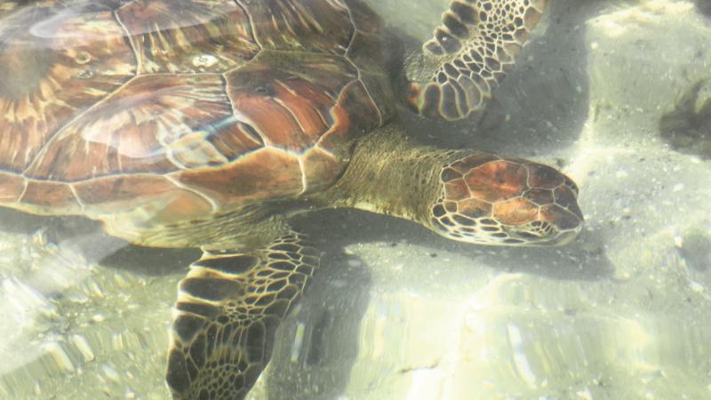 Sea turtle is seen through the ripples of clear water.