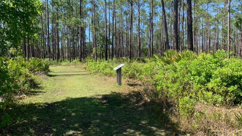a grass path extends through pine trees past an interpretive sign