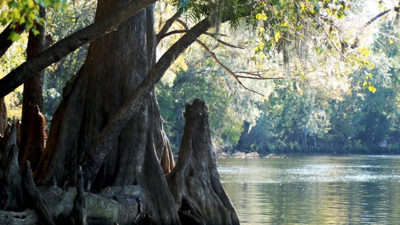 a cypress tree and root stick out of the river