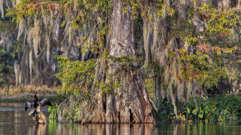 An anhinga sits wings outstretched near the base of a large cypress tree.