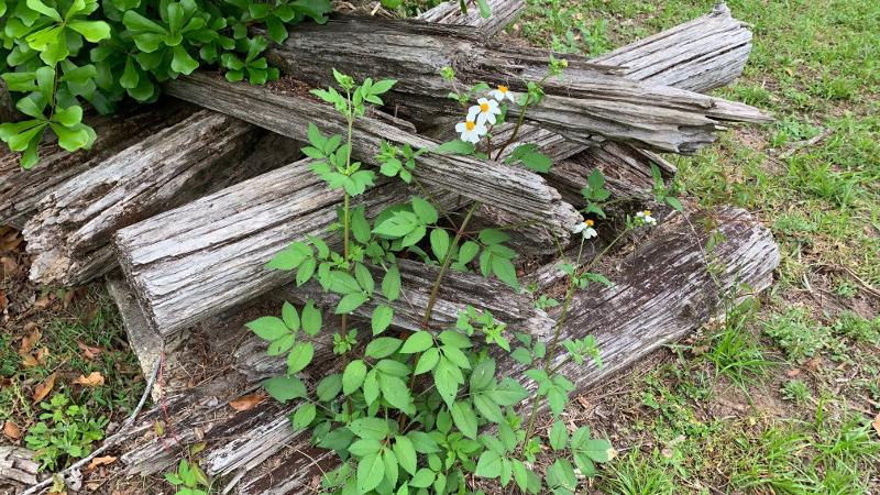a pile of old firewood overgrown by weeds and white flowers