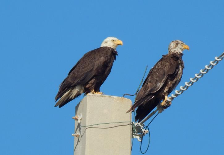 A pair of bald eagles sit along the power lines