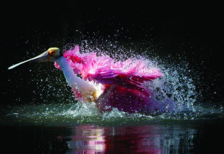 Pink colored Bird shaking water off feathers