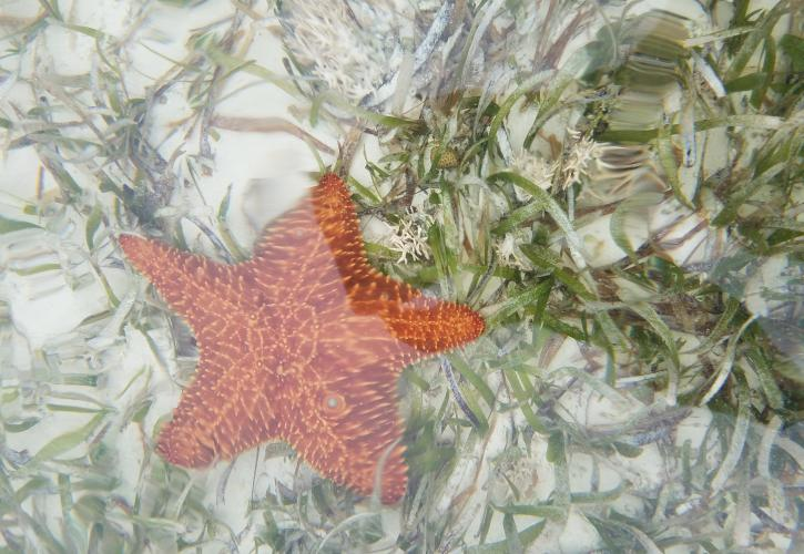 An view of a starfish, underwater.