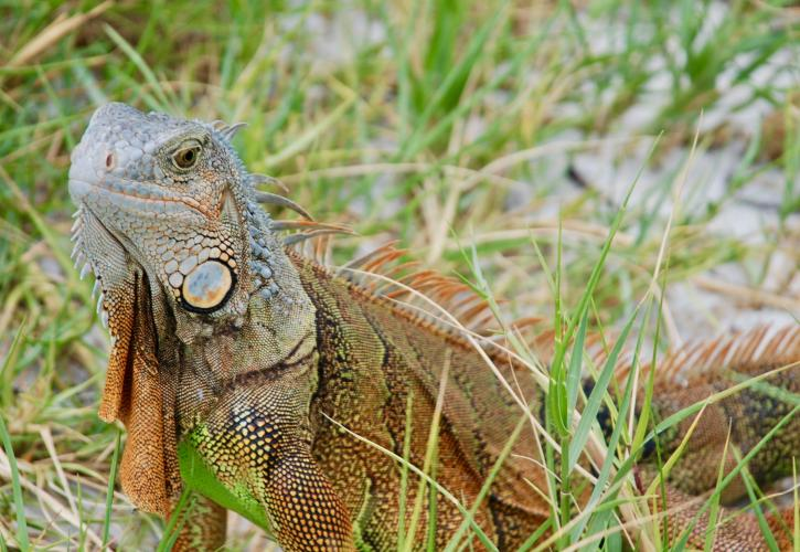 A view of an iguana among the grass.