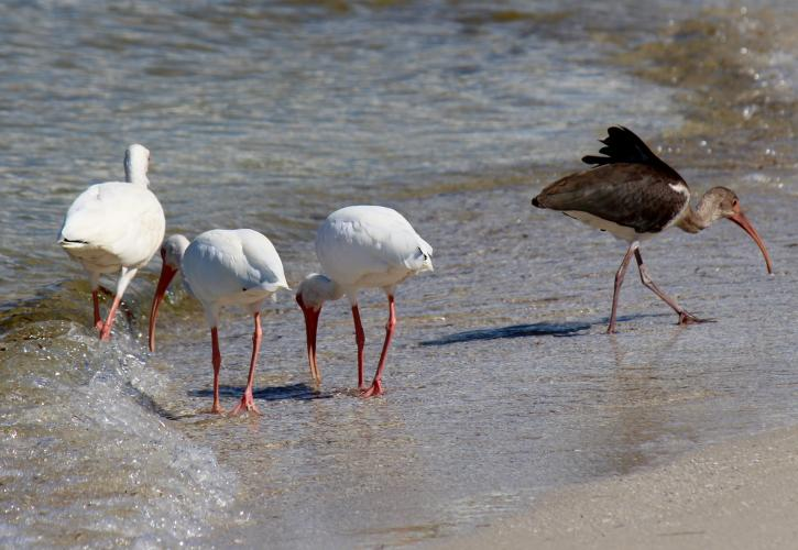 Birds walking along the shore of the beach.