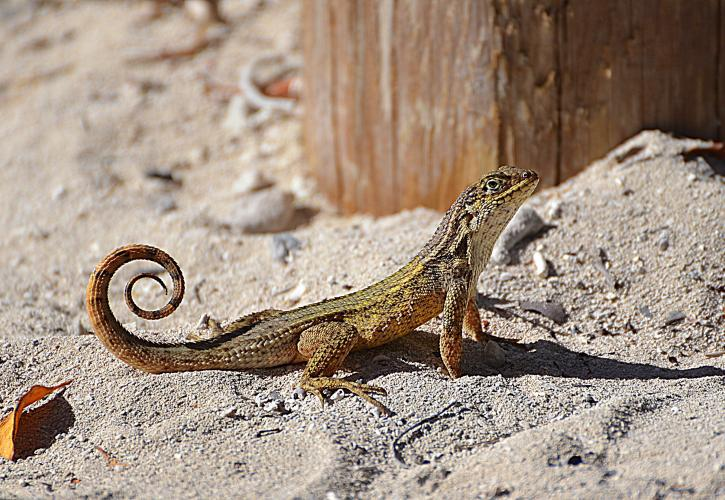 A view of a small lizard in the sand.