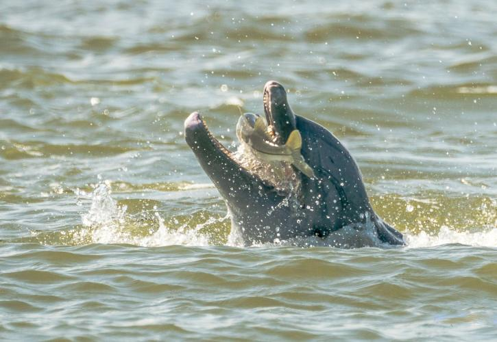 Dolphin catching a fish