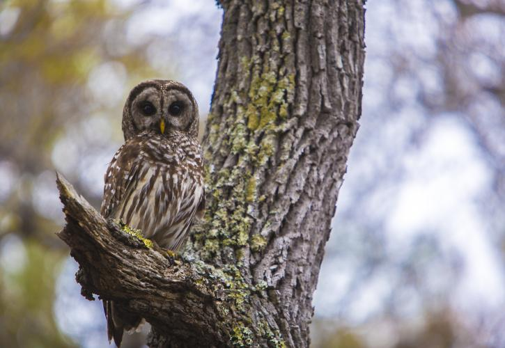 Barred Owl at Wekiwa Springs