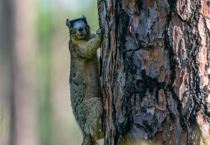 Fox squirrel on a pine tree