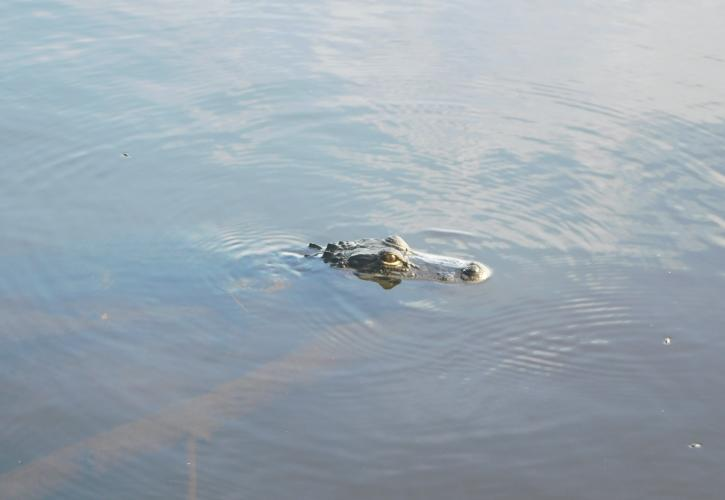 Gator at Lake Talquin State Park