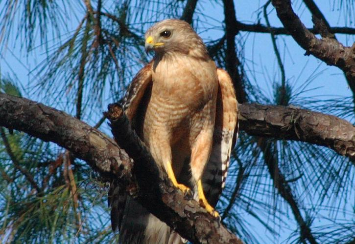 A hawk perched on a branch.