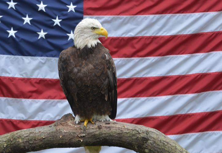Bald Eagle perched on a branch with the American Flag in the background