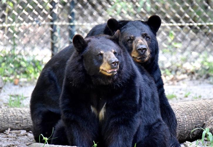 Biddy and Brutus the black bears